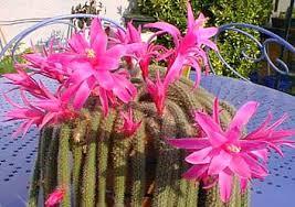 Cactus cola de rata («Aporocactus flagelliformis»)
