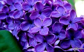"""Violeta (""""Hermosa, Herbácea y vivaz"""") 1"""