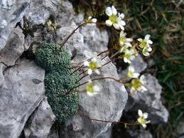 "Saxifraga (""Saxifraga granulata"") 1"
