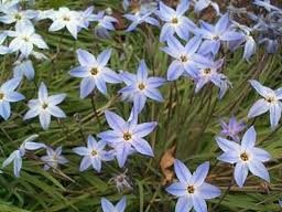 Wisley Blue