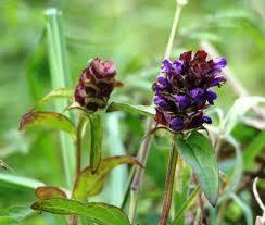 """Consuelda menor (""""Prunella vulgaris"""") 4"""