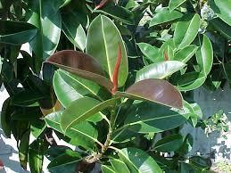 """Árbol del caucho (""""Ficus elastica"""")  4"""