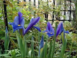 "Iris de Holanda, Lirio español (""Iris xiphium"") 4"