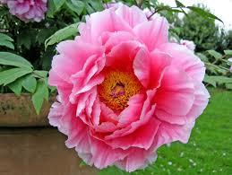 "Peonia china (""Paeonia lactiflora"") 4"