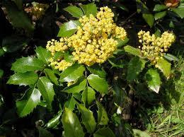 """Mahonia (""""Mahonia aquifolium"""")  3"""
