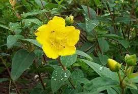 Plantas medicinales – Hierba de San Juan