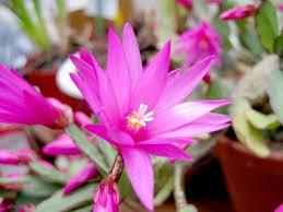 "Cactus de Navidad (""Schlumbergera truncata"") 1"