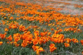 California Poppy, (Eschscholzia californica)