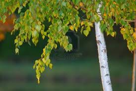 Abedul – (Betula)