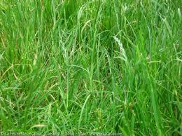 Tipos de hierba (césped) – Parte II