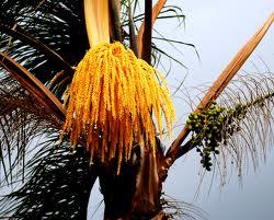 La palma Jerivá