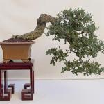 Galería de fotos de bonsáis 11