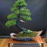 Galería de fotos de bonsáis 3