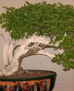 Galería de fotos de bonsáis 4