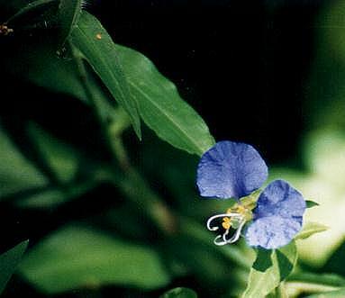 Flor de Santa Lucía