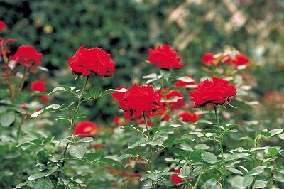 Esquejes de rosales