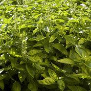 II Jornadas de plantas aromáticas