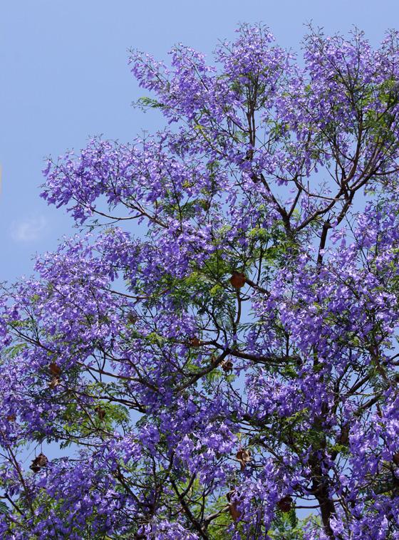 Jacaranda el rbol violeta for Planta ornamental jacaranda