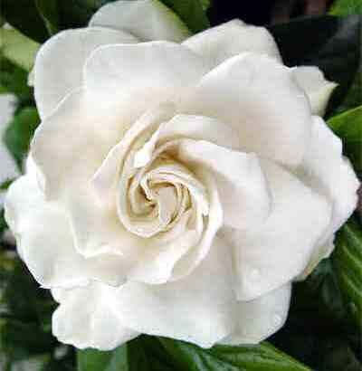 La Gardenia, una flor sedante