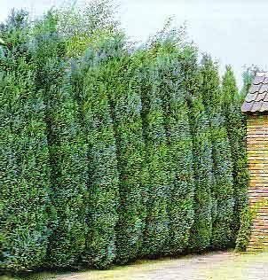 Por qu cortar los pinos - Plantas para vallas ...