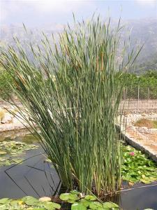 Jacaranda, el árbol violeta 2