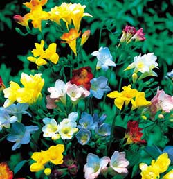 Colorido a tu jardín: Fresias