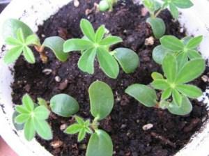 Lograr que crezcan antes las semillas