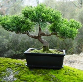 podar los bonsáis