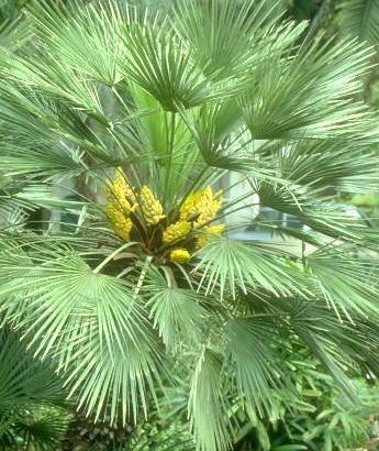 Las mejores palmeras para jardines