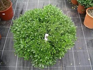 Pittosporum tobira, una planta para aislarte