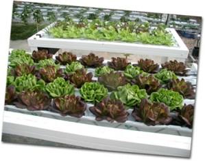 Cultivar lechugas