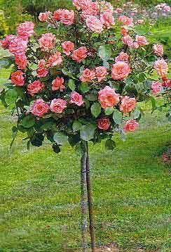 Rosal de árbol