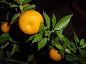 Naranjo amargo espinoso