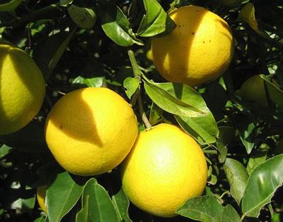 Cuidados del limonero