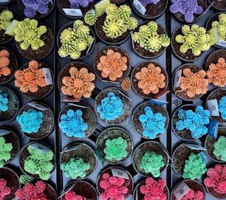 ¿Existen los cactus de colores?
