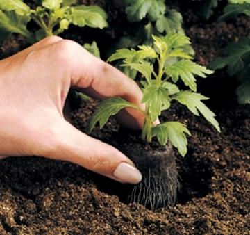 Trasplantar plantas