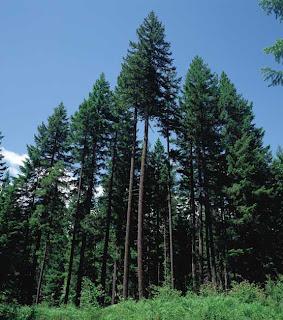El árbol más antiguo
