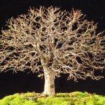 Estilos de bonsáis 7