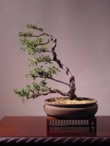 Estilos de bonsáis 9