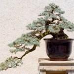 Estilos de bonsáis 2