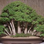 Estilos de bonsáis 5