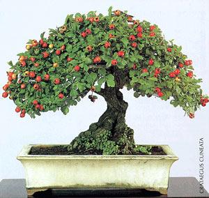 Vídeo gráfico de bonsais del mundo