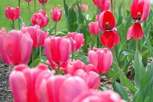 Cultivo de plantas bulbosas 2