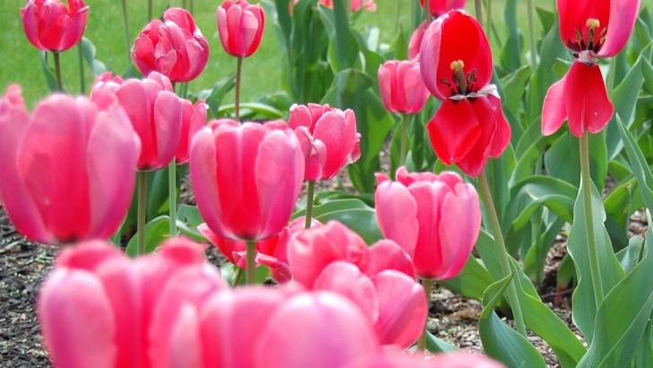 Cultivo de plantas bulbosas