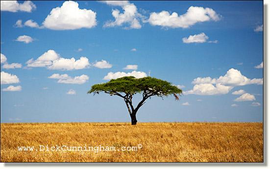 Acacia de flor blanca