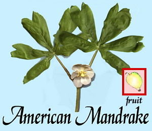 American Mandrake, May Apple