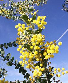 Árbol Acacia