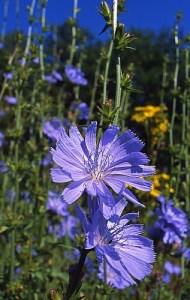 Achicoria - Chihorium intybus