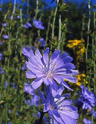 Achicoria – Chihorium intybus