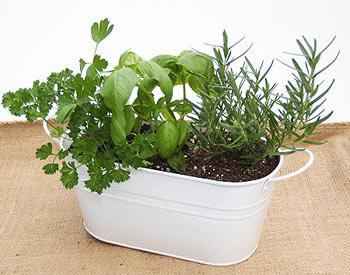 Cultivando Hiervas